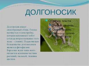 ДОЛГОНОСИК Долгоносик имеет своеобразный облик. Голова вытянута в головотруб
