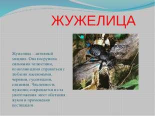 ЖУЖЕЛИЦА Жужелица – активный хищник. Она вооружена сильными челюстями, позво