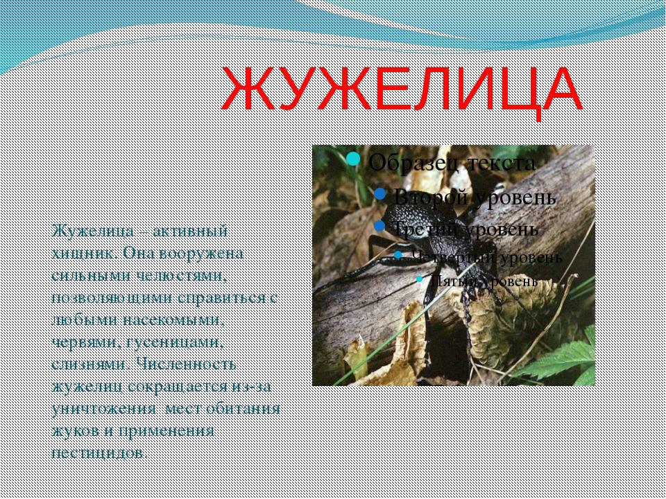 ЖУЖЕЛИЦА Жужелица – активный хищник. Она вооружена сильными челюстями, позво...