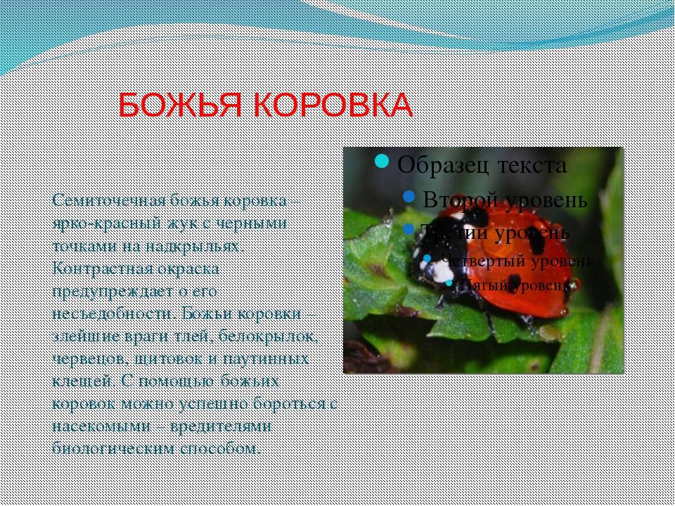 БОЖЬЯ КОРОВКА Семиточечная божья коровка – ярко-красный жук с черными точкам...