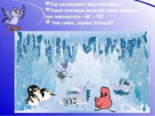 Как насиживают яйца пингвины? Какие пингвины выводят своих птенцов при темпер