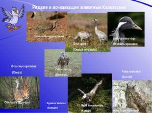Редкие и исчезающие животные Казахстана Chlamydotis undulata (Джек) Bubo bubo