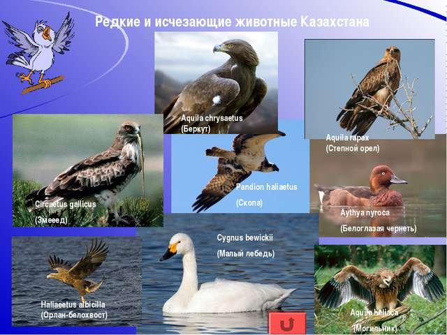Редкие и исчезающие животные Казахстана Aquila heliaca (Могильник) Haliaeetus...