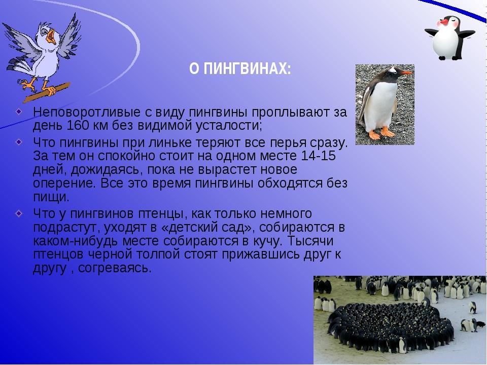Неповоротливые с виду пингвины проплывают за день 160 км без видимой усталост...