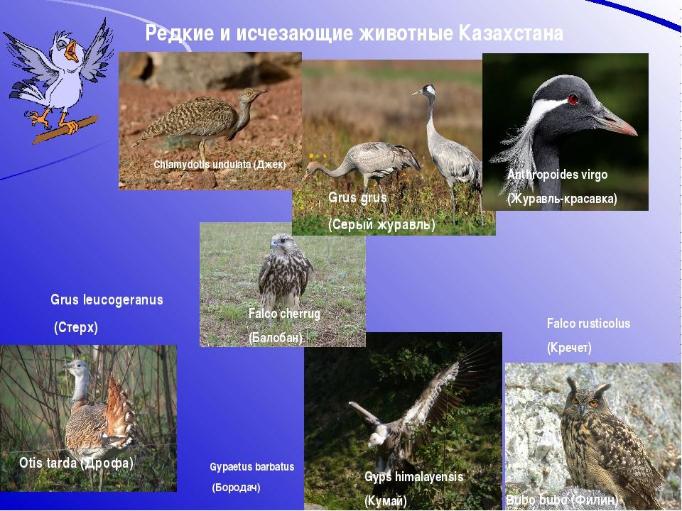 Редкие и исчезающие животные Казахстана Chlamydotis undulata (Джек) Bubo bubo...