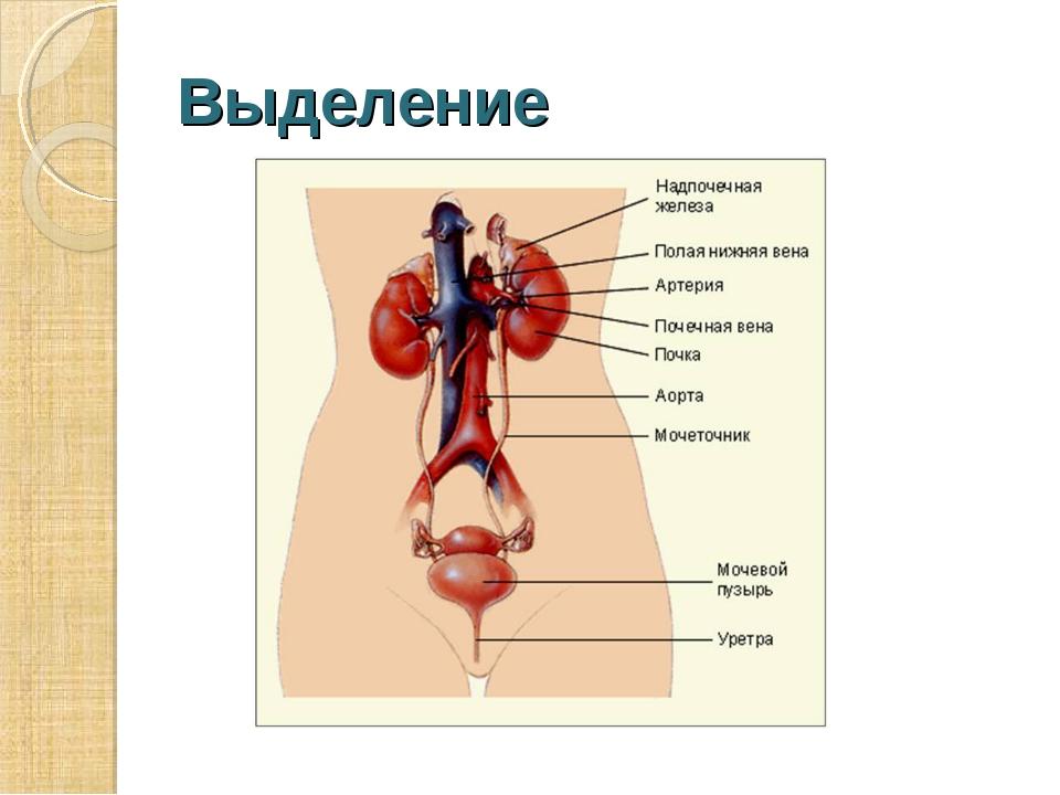 Выделение Выделение – это процесс освобождения организма от ненужных веществ.