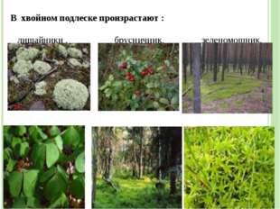 В хвойном подлеске произрастают : лишайники , брусничник, зеленомошник, кисли