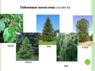 Пойменные экосистемы состоят из: ольха ива оскор ель пихта