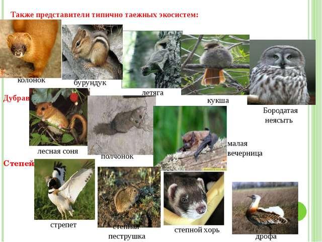 Также представители типично таежных экосистем: колонок бурундук летяга кукша...