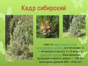 Кедр сибирский один из видов рода Сосна; вечнозелёное дерево, достигающее 35—