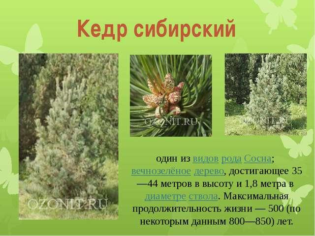 Кедр сибирский один из видов рода Сосна; вечнозелёное дерево, достигающее 35—...