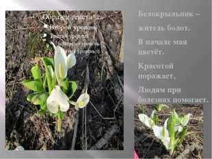 Белокрыльник – житель болот. В начале мая цветёт. Красотой поражает, Людям п