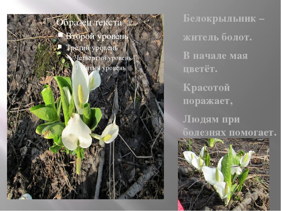 Белокрыльник – житель болот. В начале мая цветёт. Красотой поражает, Людям п...