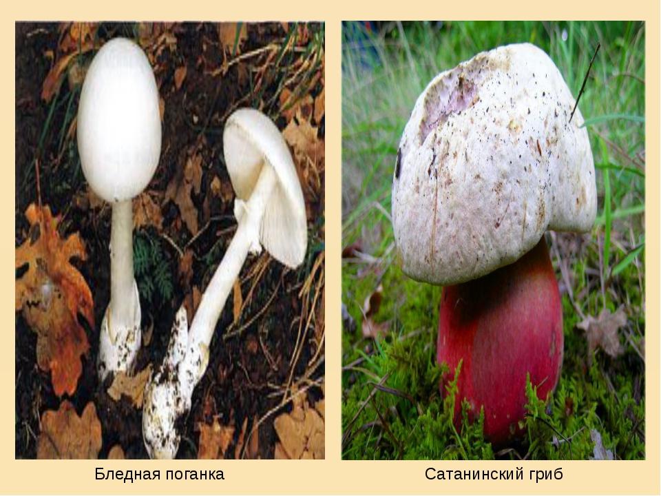 Бледная поганка Сатанинский гриб