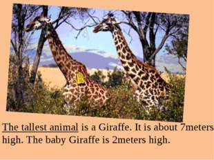 The tallest animal is a Giraffe. It is about 7meters high. The baby Giraffe i