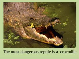 The most dangerous reptile is a crocodile.