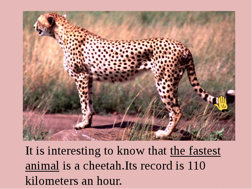 It is interesting to know that the fastest animal is а сheetah.Its record is...