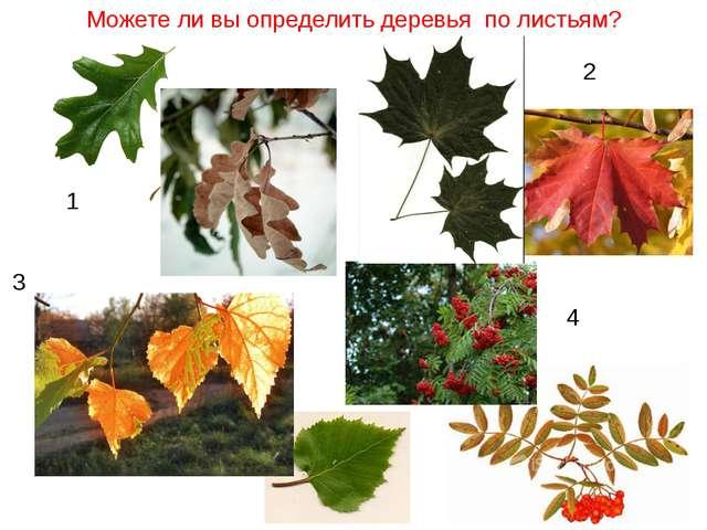 Можете ли вы определить деревья по листьям? 1 2 4 3