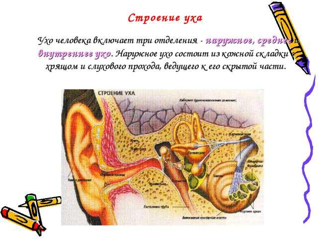Строение уха  Ухо человека включает три отделения - наружное, среднее и внут...