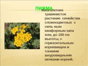 * Многолетнее травянистое растение семейства сложноцветных с силь ным камфорн