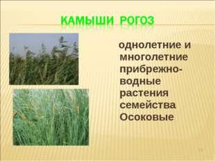 однолетние и многолетние прибрежно-водные растения семейства Осоковые *
