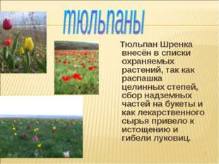 Тюльпан Шренка внесён в списки охраняемых растений, так как распашка целинны