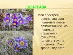 Или прострел, цветки сначала поникшие потом прямостоячие. Из пестиков образуе