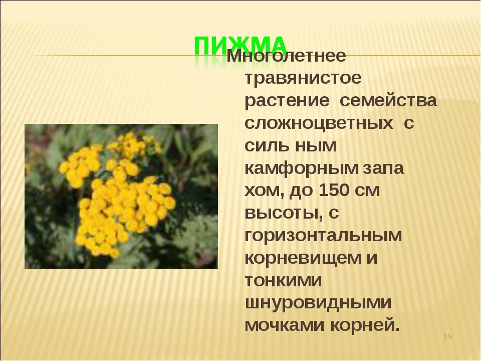 * Многолетнее травянистое растение семейства сложноцветных с силь ным камфорн...