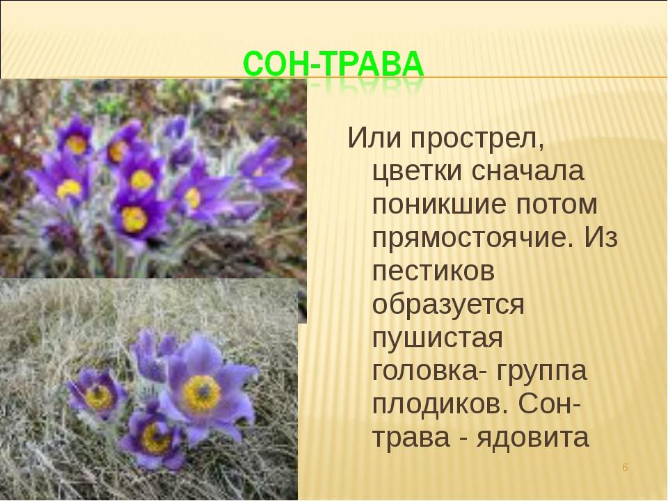 Или прострел, цветки сначала поникшие потом прямостоячие. Из пестиков образуе...
