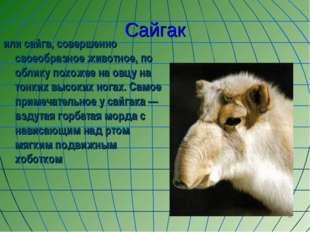 * Сайгак или сайга, совершенно своеобразное животное, по облику похожее на ов