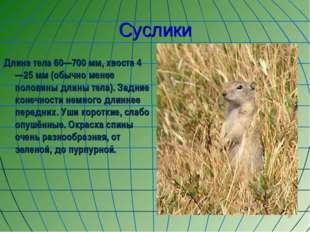 Суслики Длина тела 60—700 мм, хвоста 4—25 мм (обычно менее половины длины тел