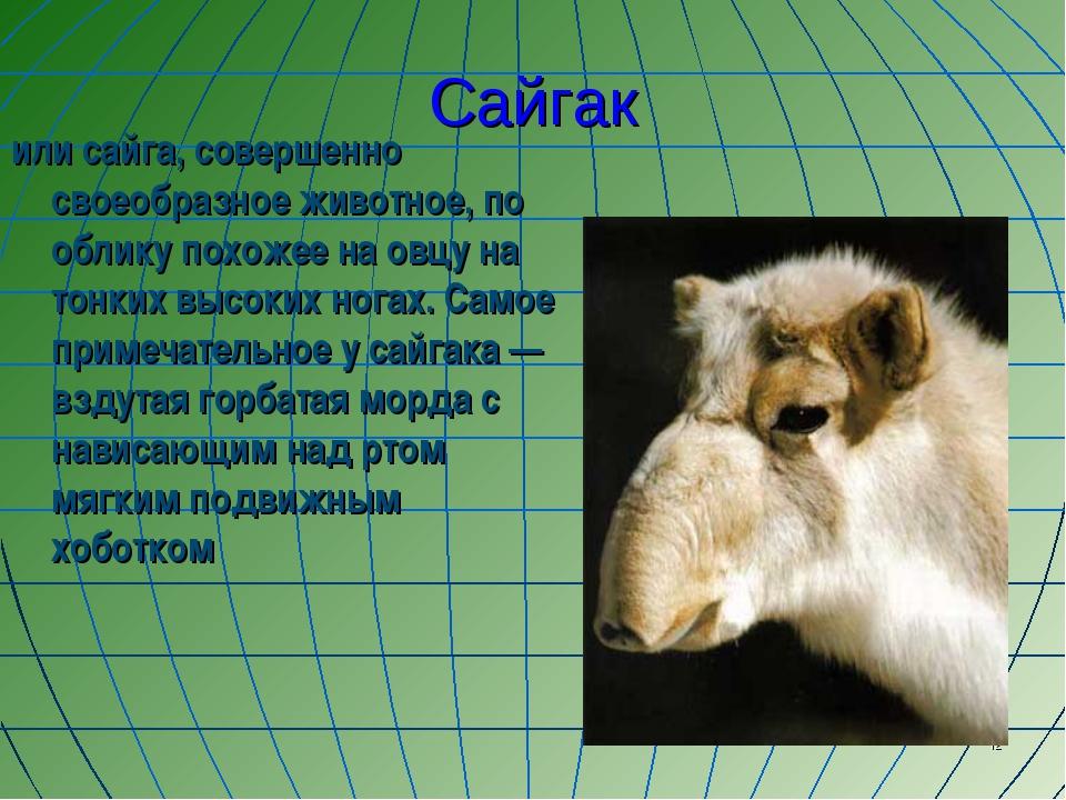 * Сайгак или сайга, совершенно своеобразное животное, по облику похожее на ов...