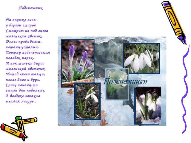 Подснежник На опушке леса - у березы старой Смотрит из-под снега маленький ц...