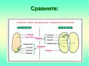 Зародыш Зародыш Кожура Кожура Семядоля (1) Семядоли (2) Корешок Корешок Почеч