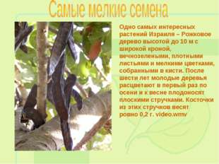 Одно самых интересных растений Израиля – Рожковое дерево высотой до 10 м с ши