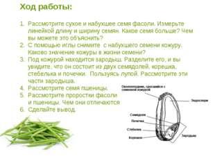 Ход работы: Рассмотрите сухое и набухшее семя фасоли. Измерьте линейкой длину