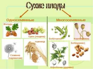 Односемянные Многосемянные Желудь Семянка (одуванчик) Орех (лещина) пшеница Б