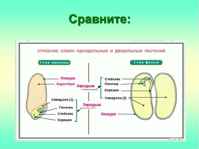 Зародыш Зародыш Кожура Кожура Семядоля (1) Семядоли (2) Корешок Корешок Почеч...