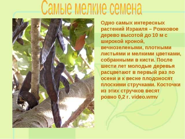 Одно самых интересных растений Израиля – Рожковое дерево высотой до 10 м с ши...