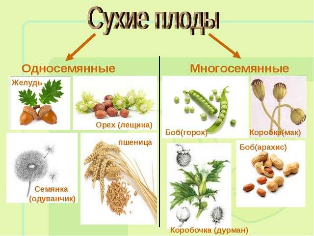 Односемянные Многосемянные Желудь Семянка (одуванчик) Орех (лещина) пшеница Б...