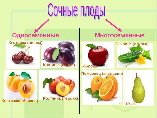 Односемянные Многосемянные Костянка (вишня) Костянка (персик) Костянка(слива)...