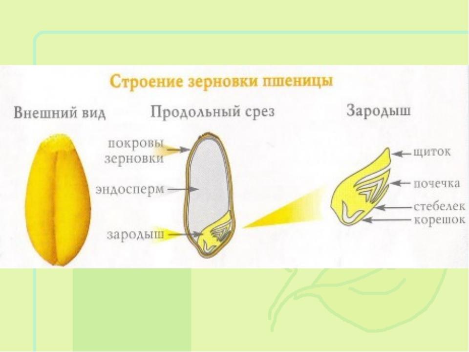 Как сделать зародыши пшеницы