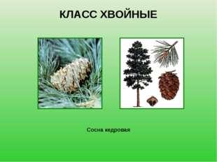 КЛАСС ХВОЙНЫЕ Сосна кедровая