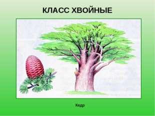 КЛАСС ХВОЙНЫЕ Кедр