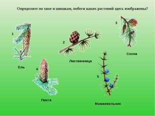 Определите по хвое и шишкам, побеги каких растений здесь изображены? Ель Лист