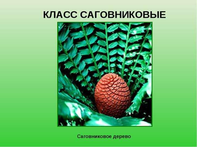 КЛАСС САГОВНИКОВЫЕ Саговниковое дерево