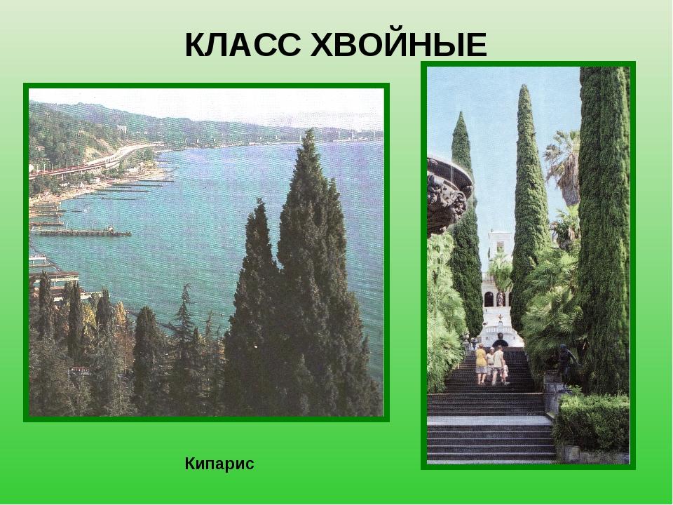 КЛАСС ХВОЙНЫЕ Кипарис