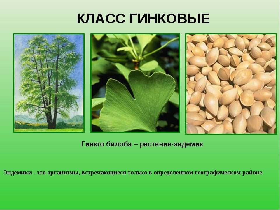 КЛАСС ГИНКОВЫЕ Гинкго билоба – растение-эндемик Эндемики - это организмы, вст...