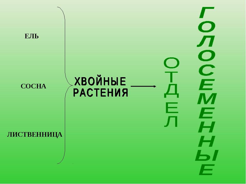 ЕЛЬ СОСНА ЛИСТВЕННИЦА