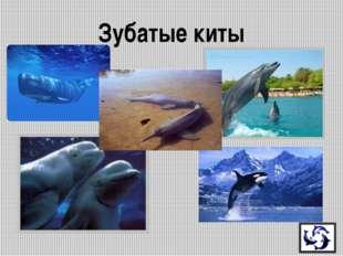 Это самый большой из речных дельфинов. Жители считают этих дельфинов священн